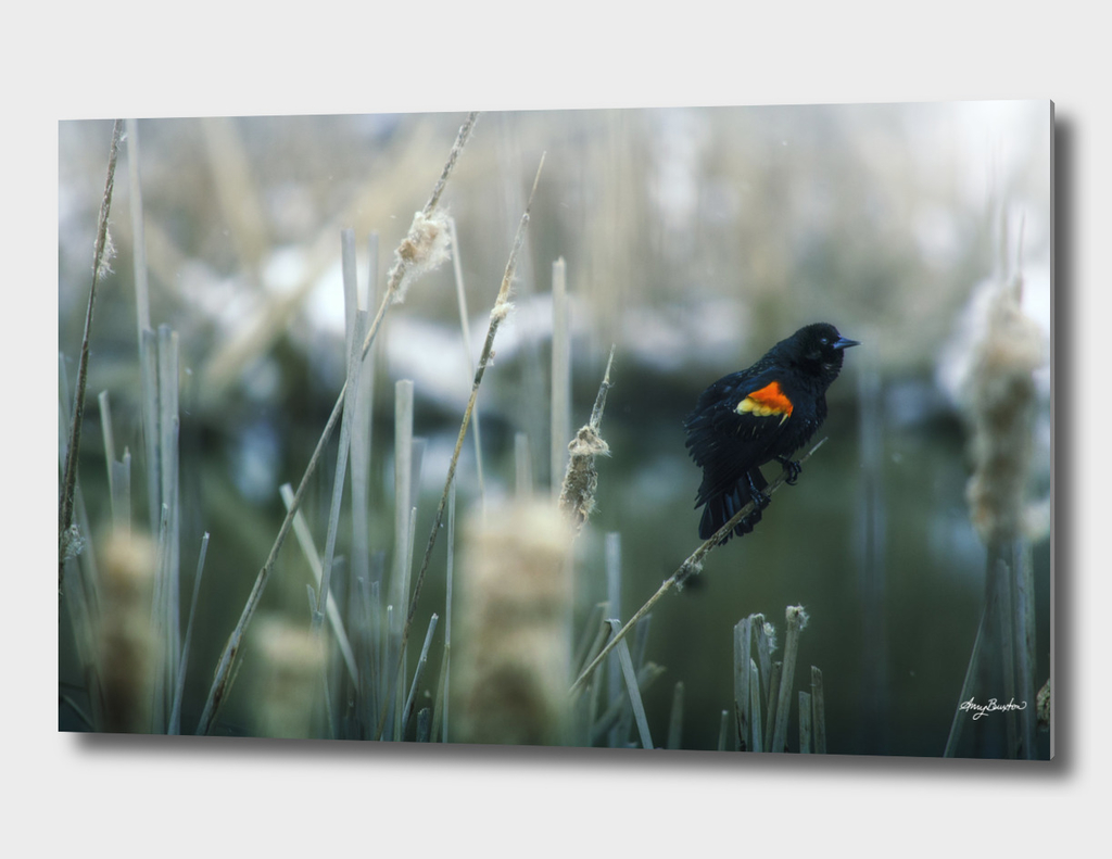 red wing blackbird serenades in the swamp