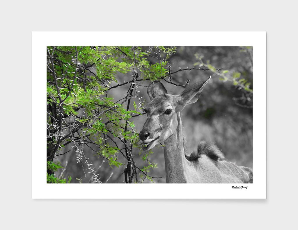 Kudu Female 3404 CK