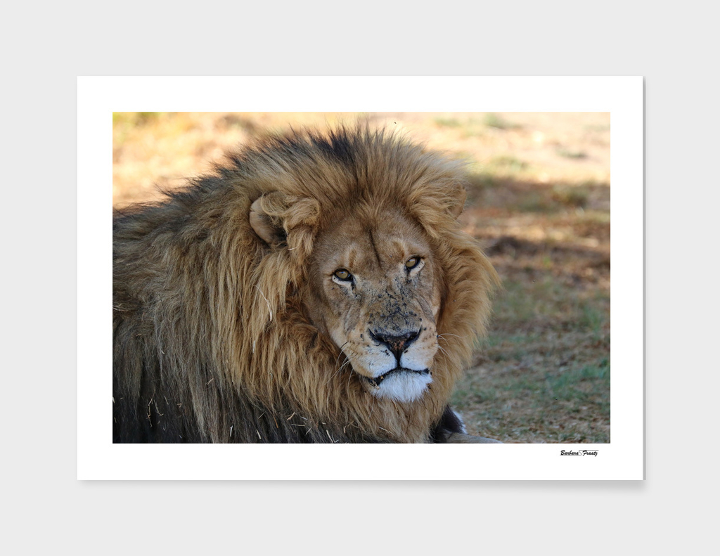 Lion Male 2116