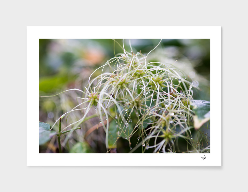 Withered Clematis
