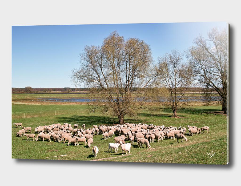 Sheep in Oderbruch