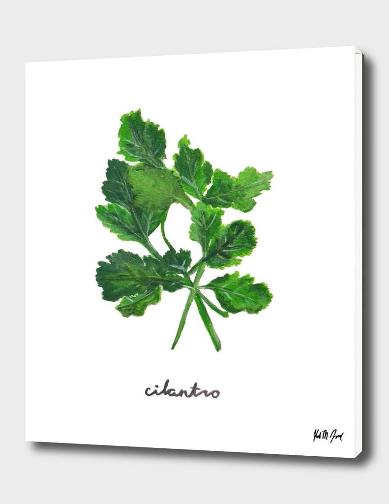 Herbs No.1 Cilantro
