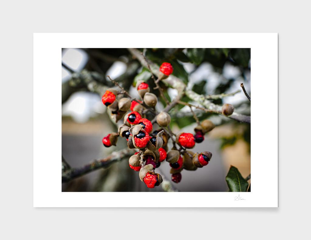New Zealand Ash tree seeds