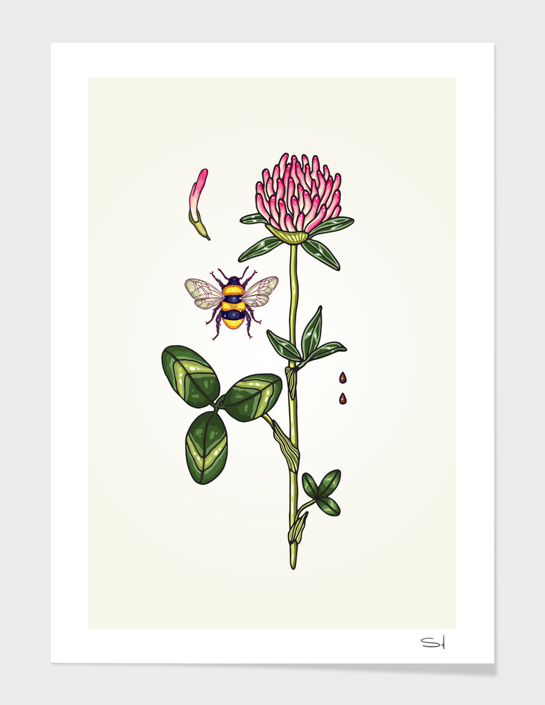 aromatic red clover