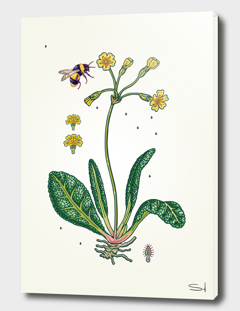 yellow cowslip and bee