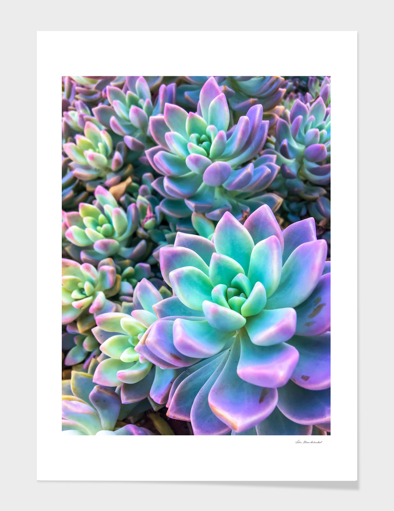 closeup green and pink succulent plant garden background