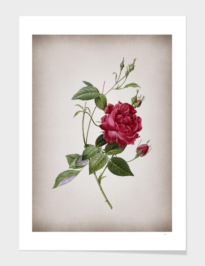 Vintage Blood Red Bengal Rose Botanical on Parchment