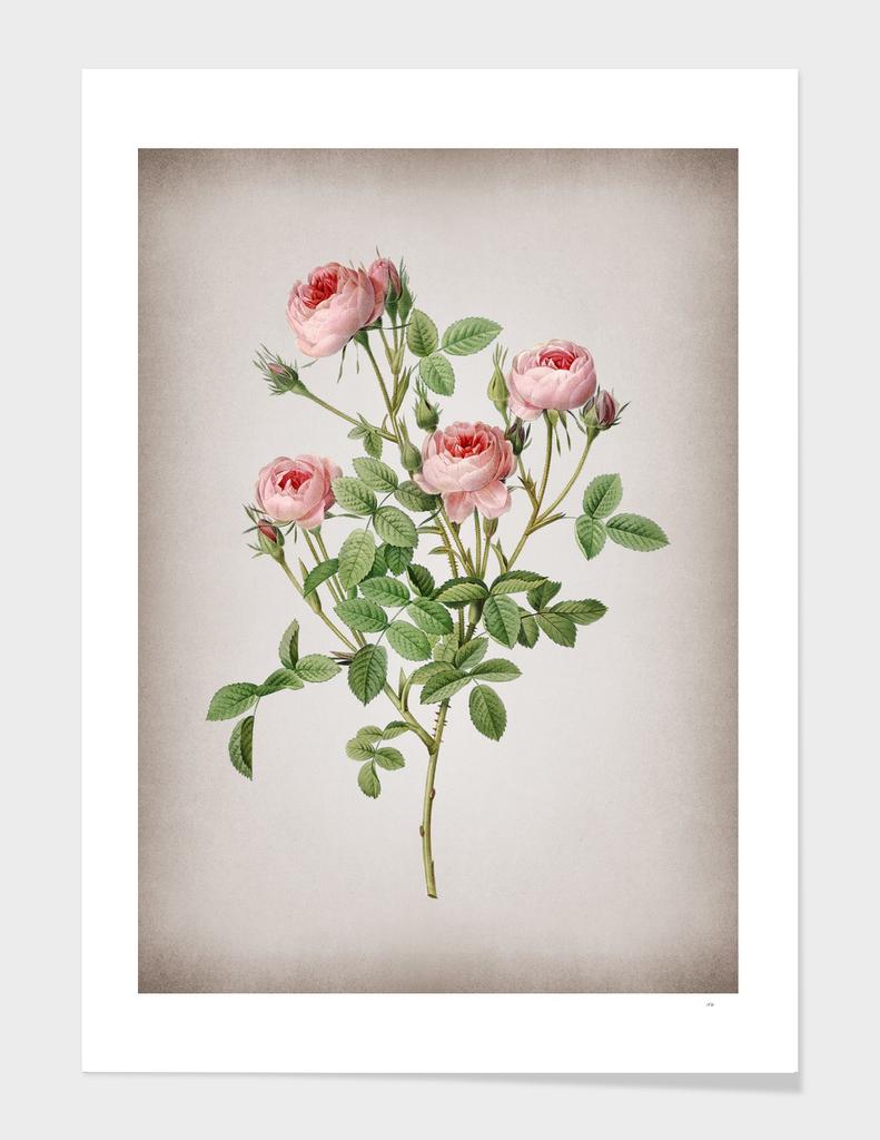Vintage Blooming Burgundian Rose Botanical on Parchme