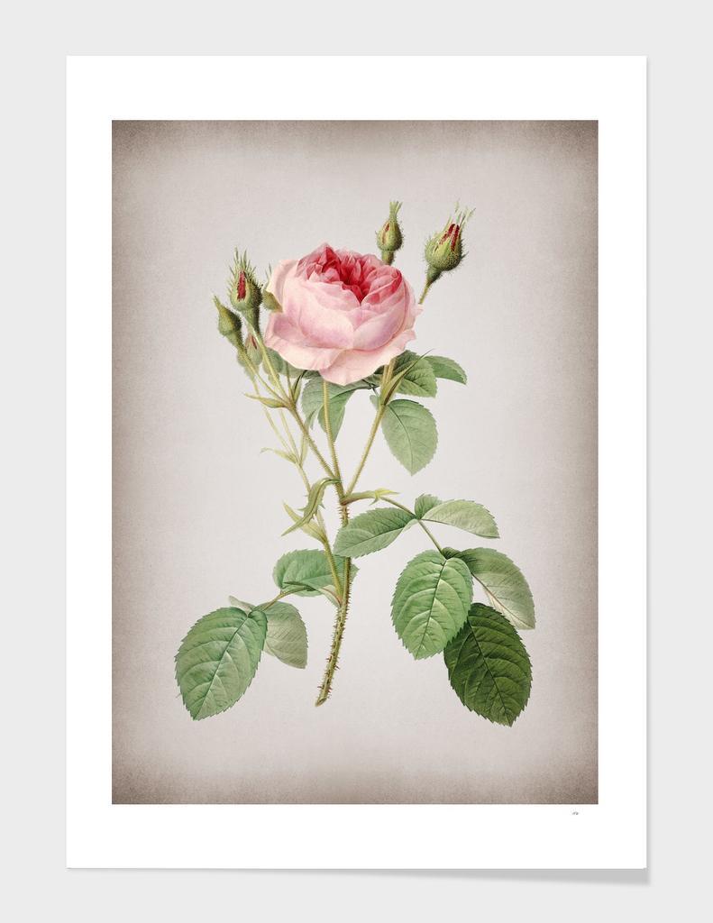 Vintage Double Moss Rose Botanical on Parchment