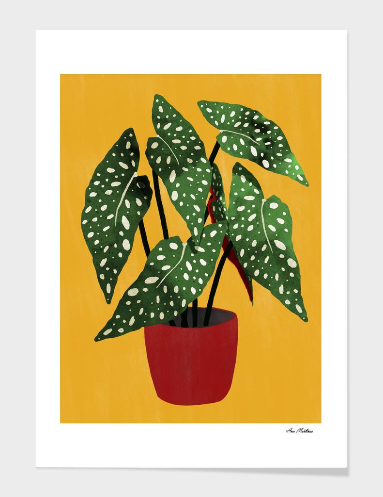 Begonia Maculata pot