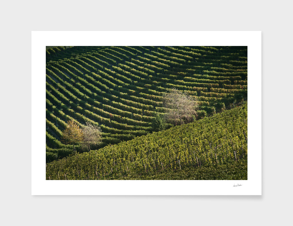 Italian vineyards. Calosso Piedmont 05