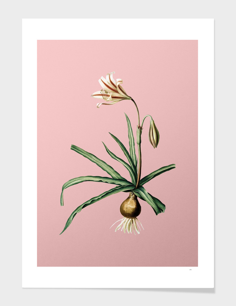 Vintage Amaryllis Broussonetii Botanical on Pink