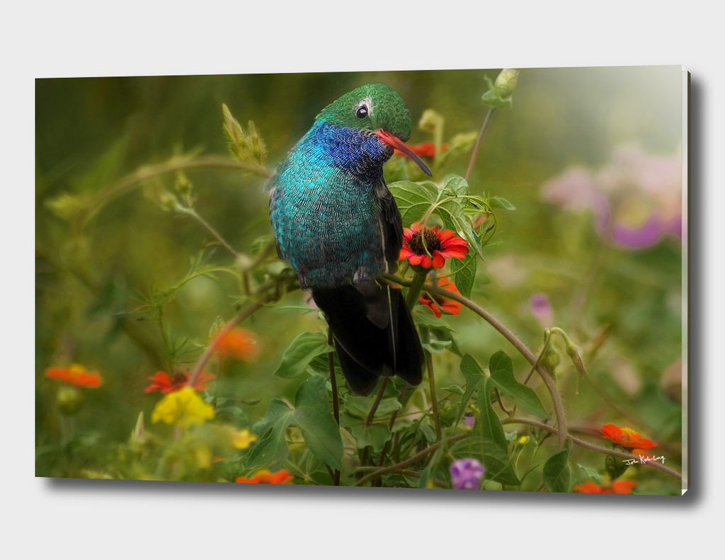 broad billed hummingbird  in  the wild flowers