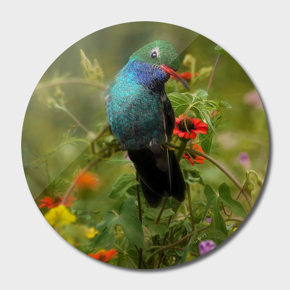 broad billed hummingbird  in  the wild flowers