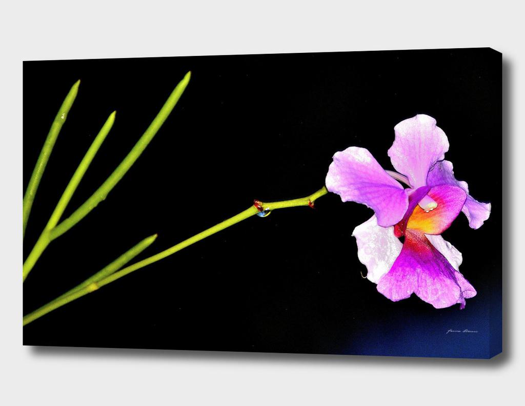 Orchidus
