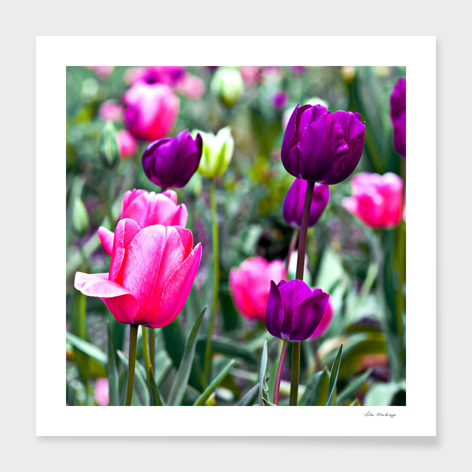 Floral Dream of Tulips
