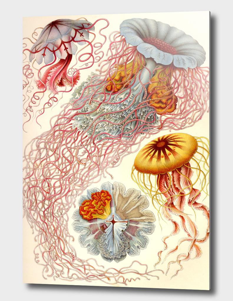 Jelly Fish - Ernst Haeckel