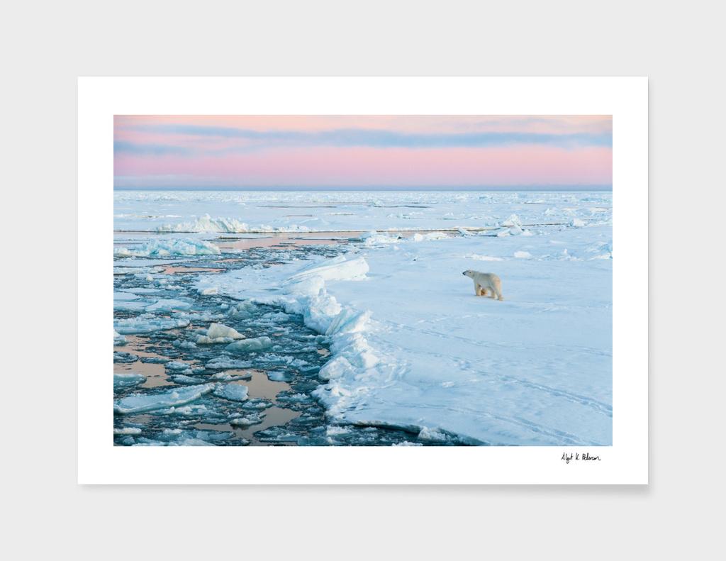 Polar bear on Fram Strait ice floe