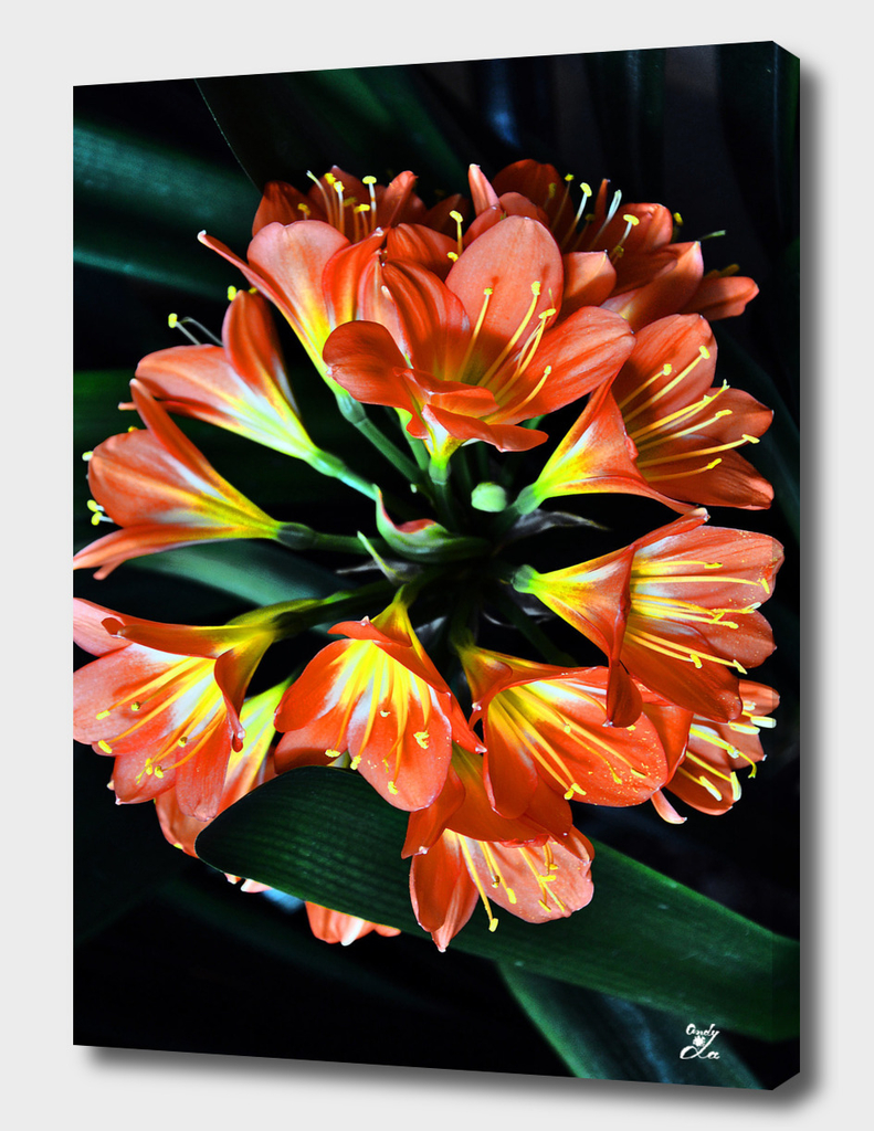 Clivia Miniata. Orange Flowered Form.