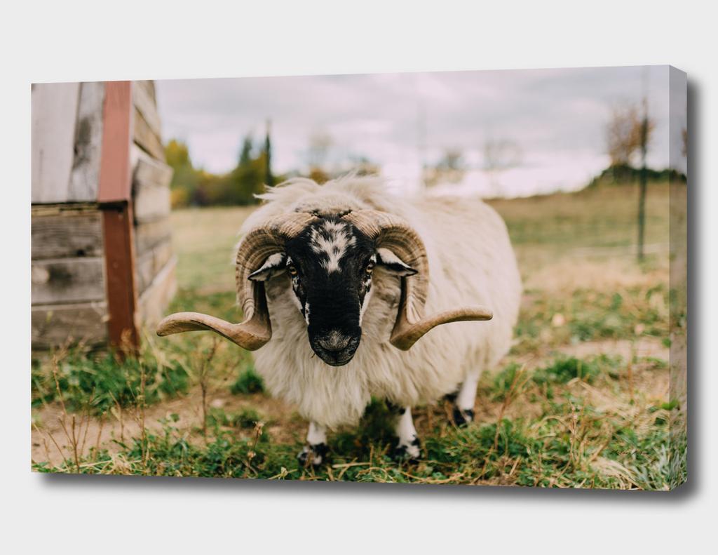 The Curious Sheep