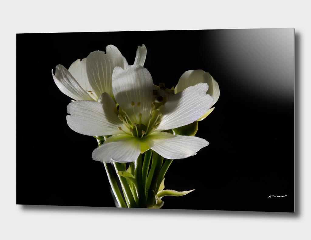 Venus Flytrap Flower Three
