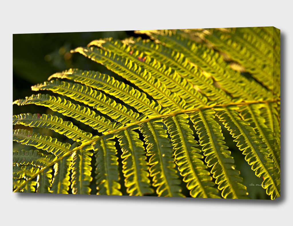 Dreaming Golden Fern in the summer light