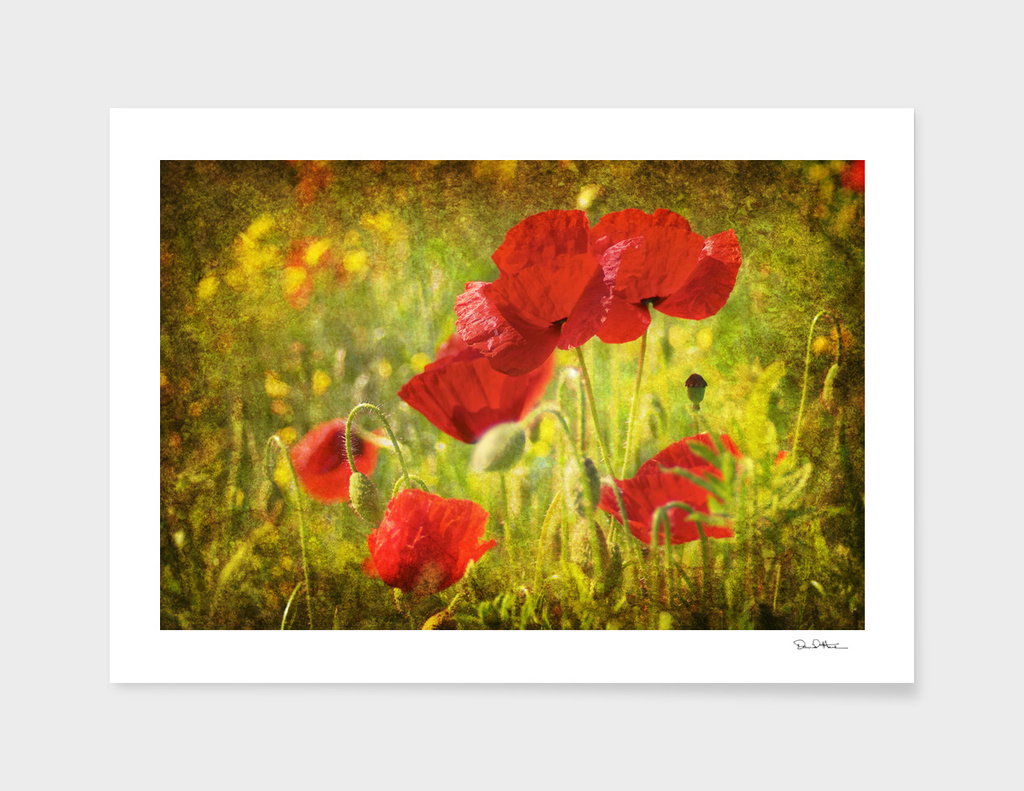 Yorkshire Poppies