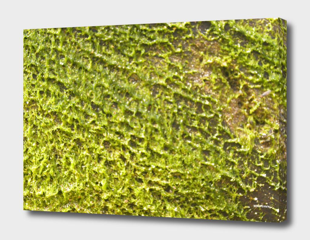 Seaweed #9 – Sri Lanka - center