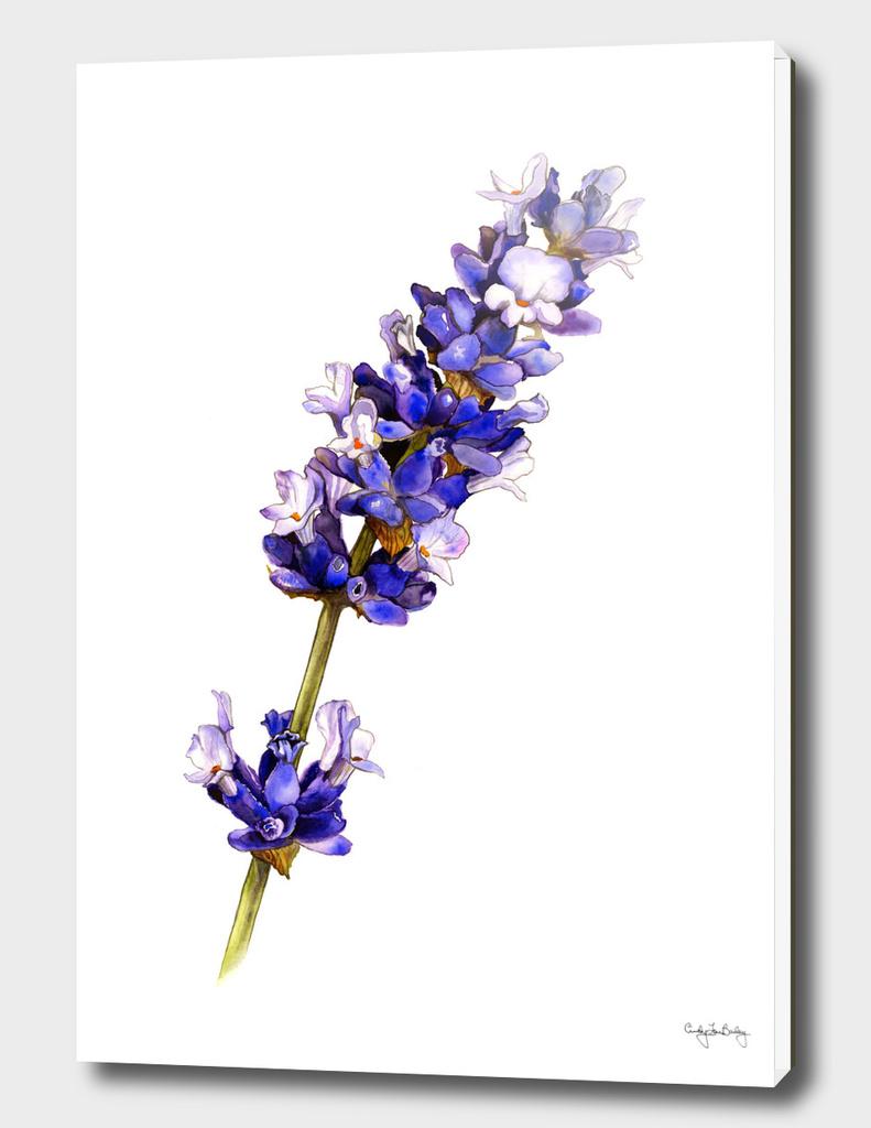 Mediterranean Lavender