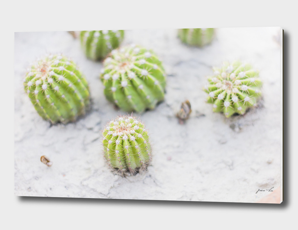 four little cactus