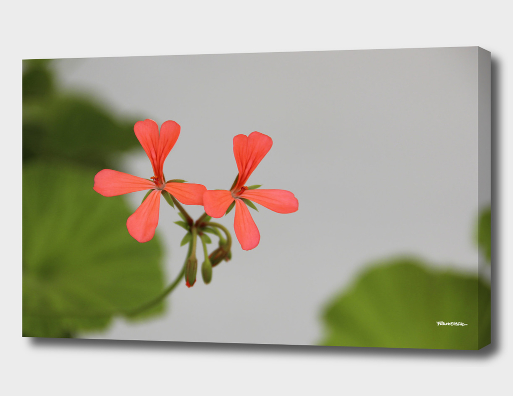 Geraniums (Pelargonium) #1