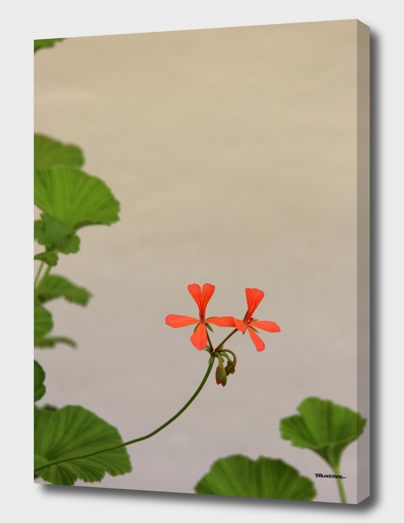 Geraniums (Pelargonium) #2