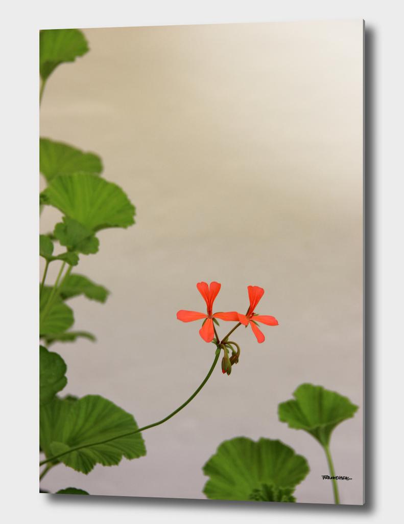 Geraniums (Pelargonium) #2