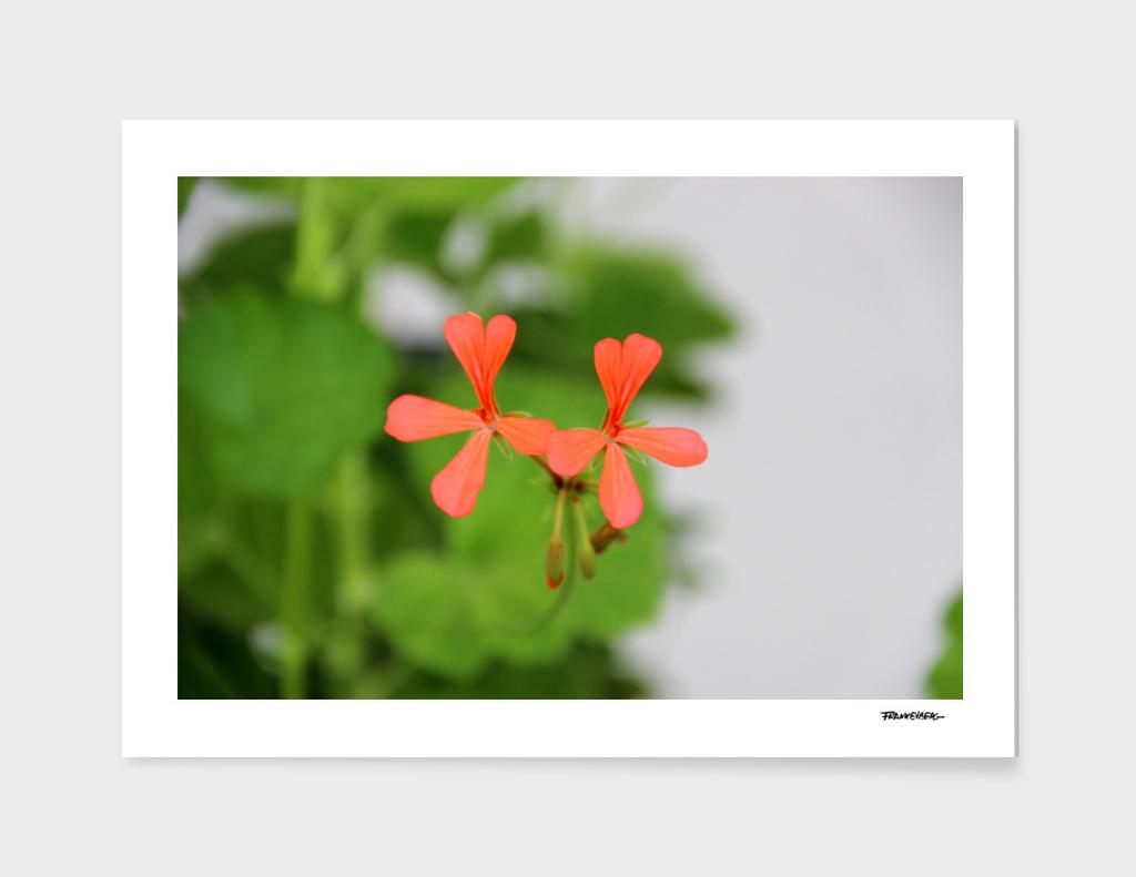 Geraniums (Pelargonium) #3