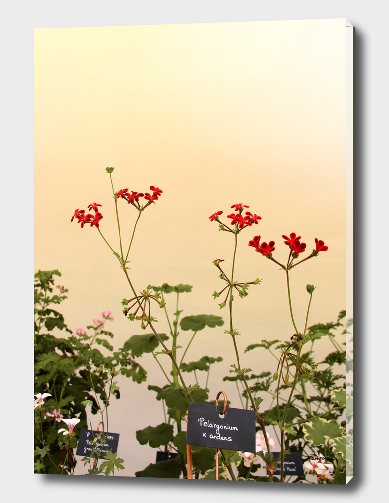 Geraniums (Pelargonium) #6