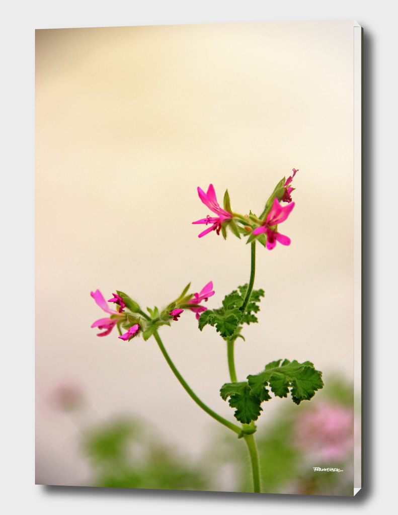 Geraniums (Pelargonium) #5