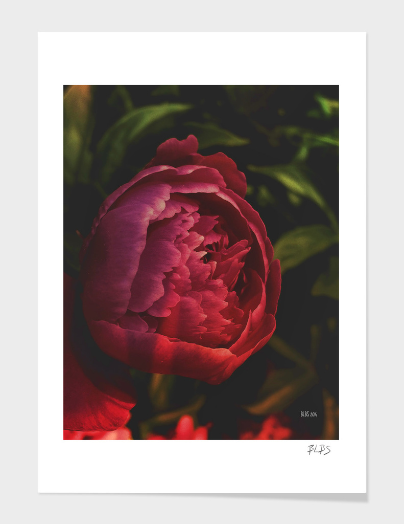 Dark Beauty - Peony in Shadow