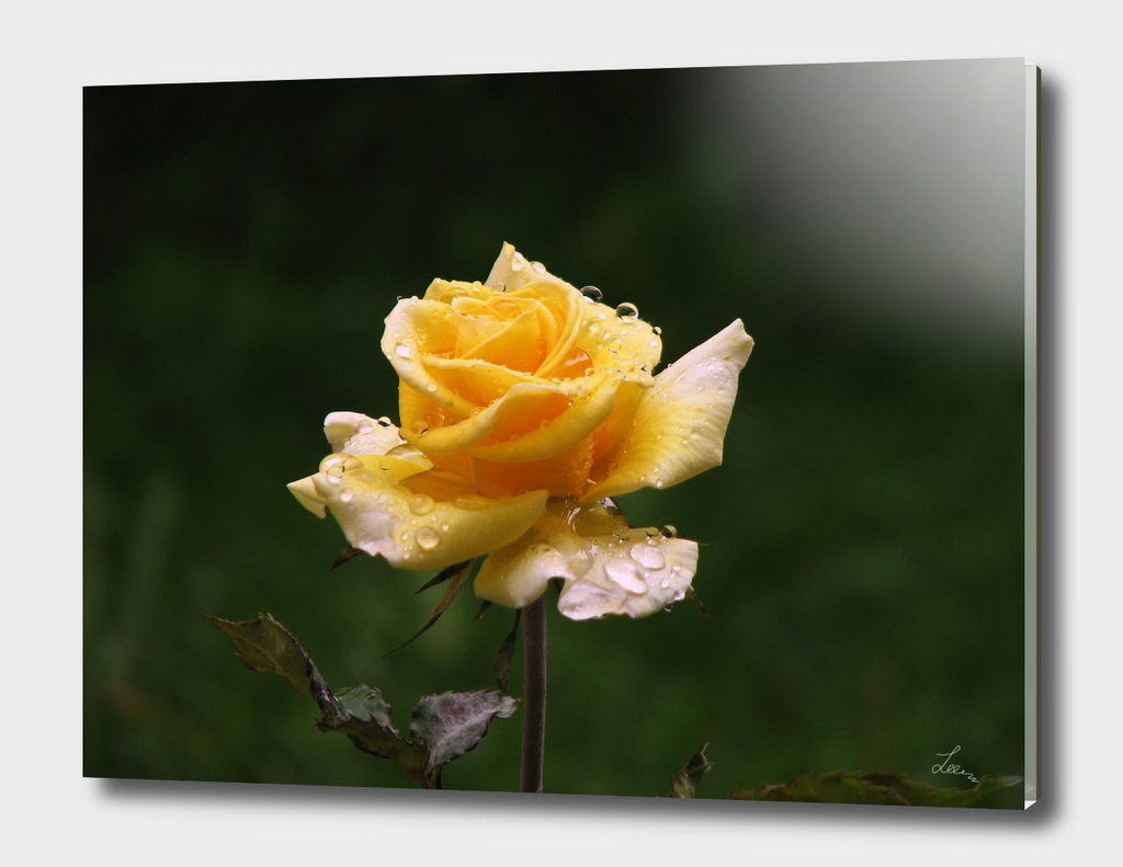 Yellow rose after rain