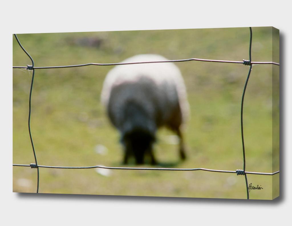 19760413 Fence shot, Milne lamb