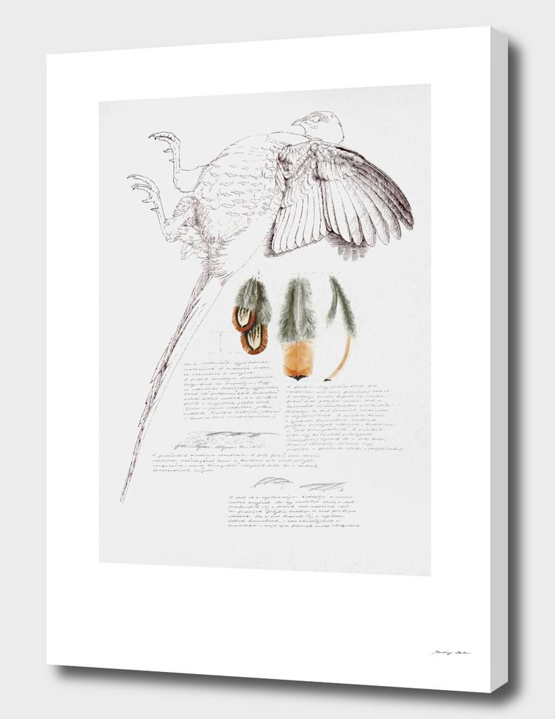Pheasant Feather Studies