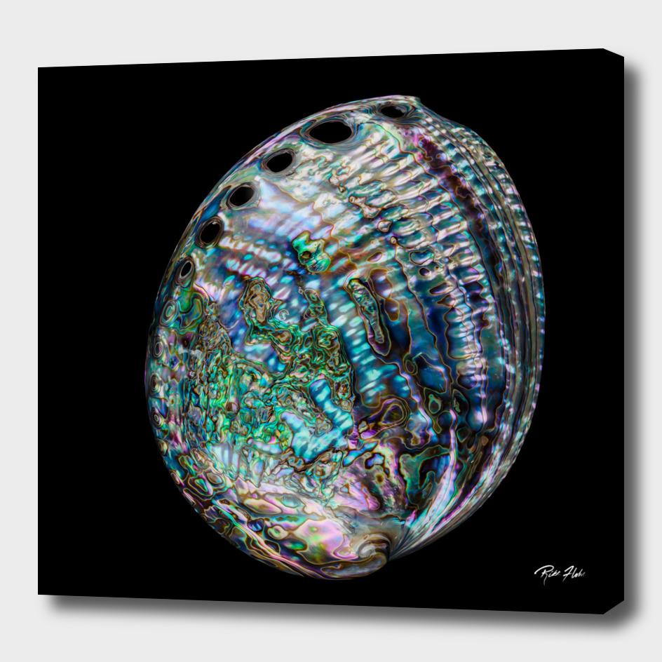Rainbow Abalone