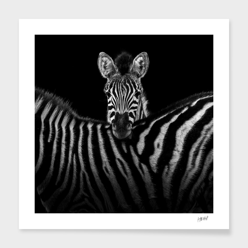 Two Zebras In Black And White