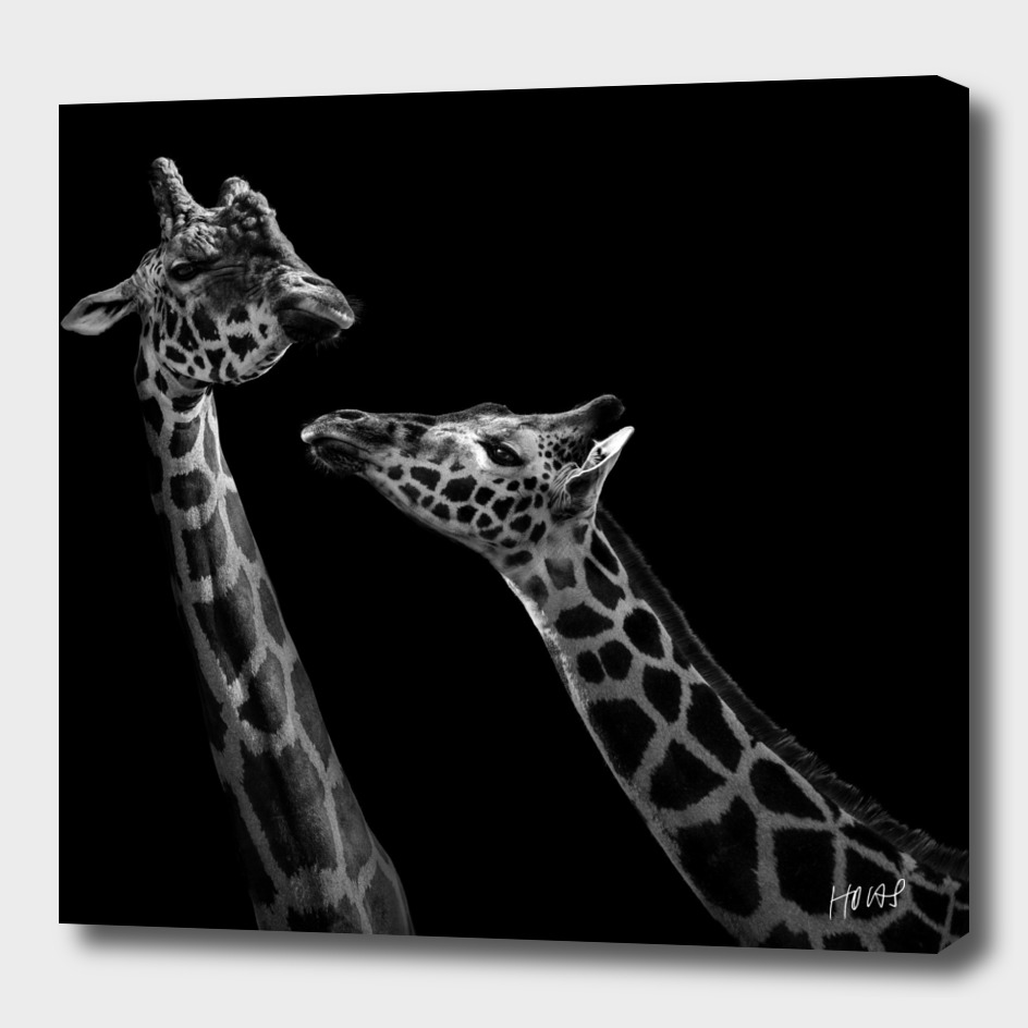 Two Giraffes In Black And White