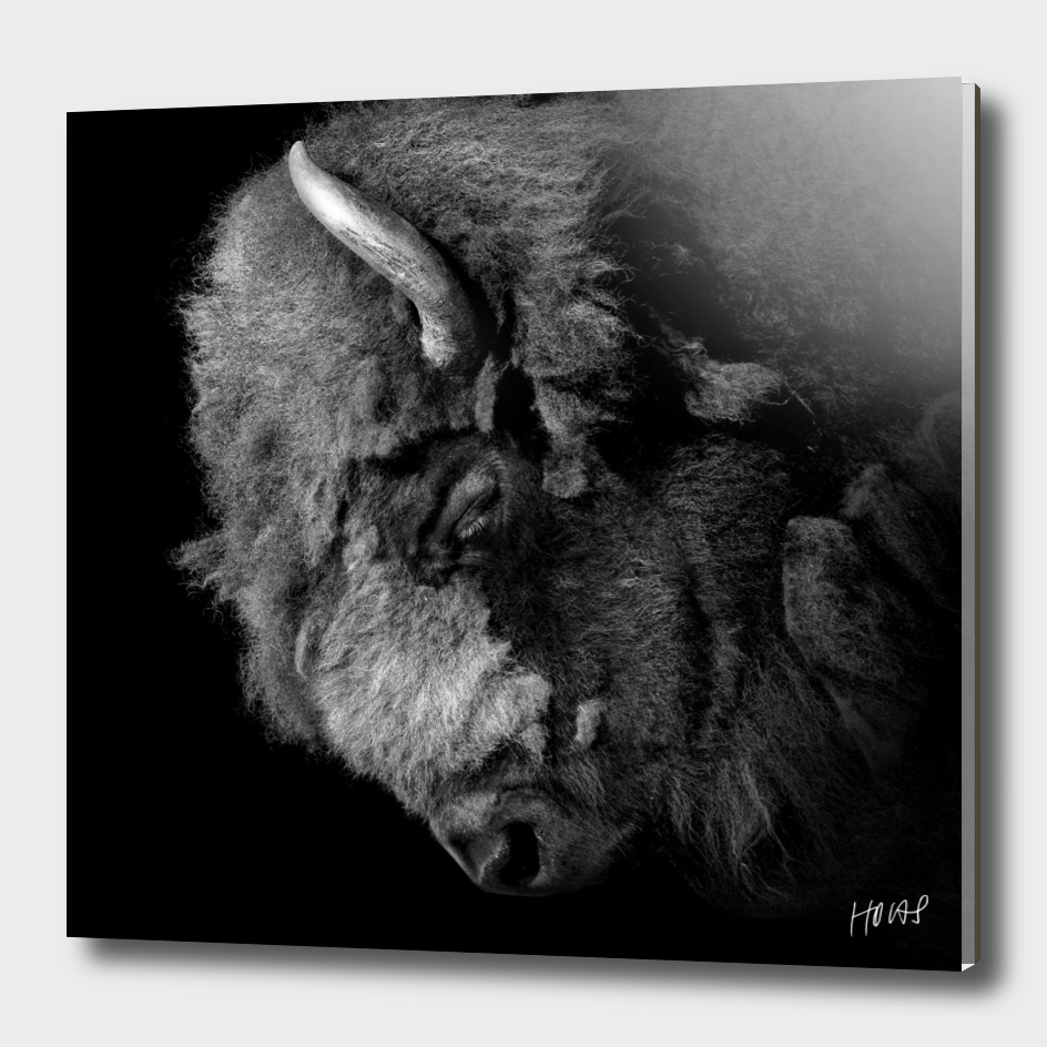 Buffalo in black and white