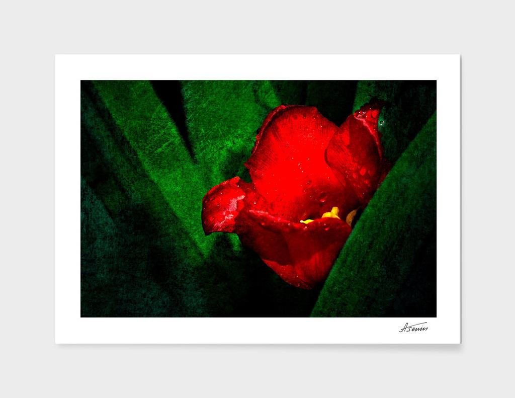 Red Tulip Flower - Morning Shower