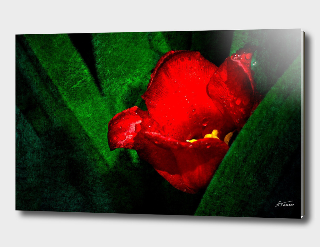Red Tulip Flower - Morning Shower