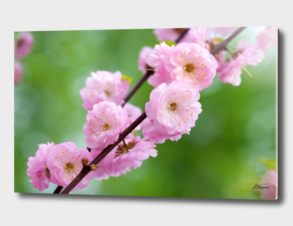 Flowering Plum Flowers