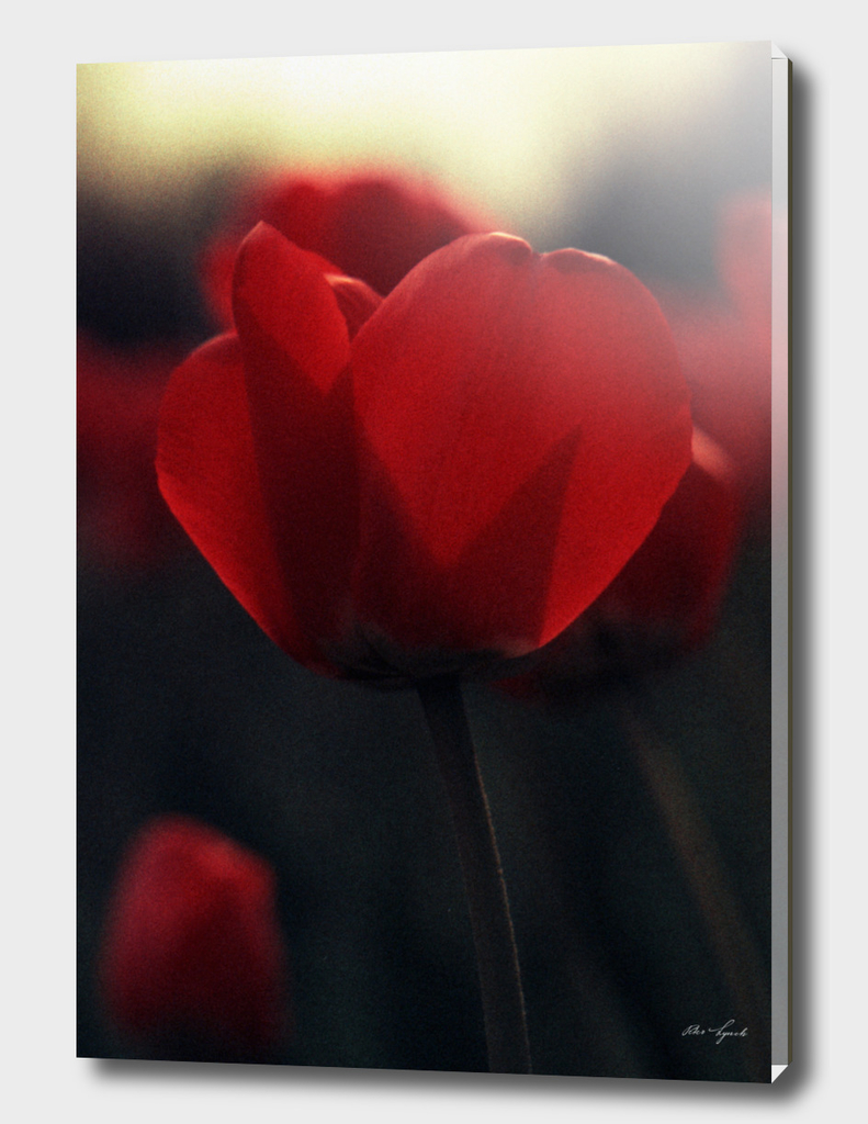 Red Tulips On Yellow