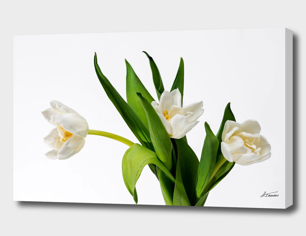 White Tulip Flowers