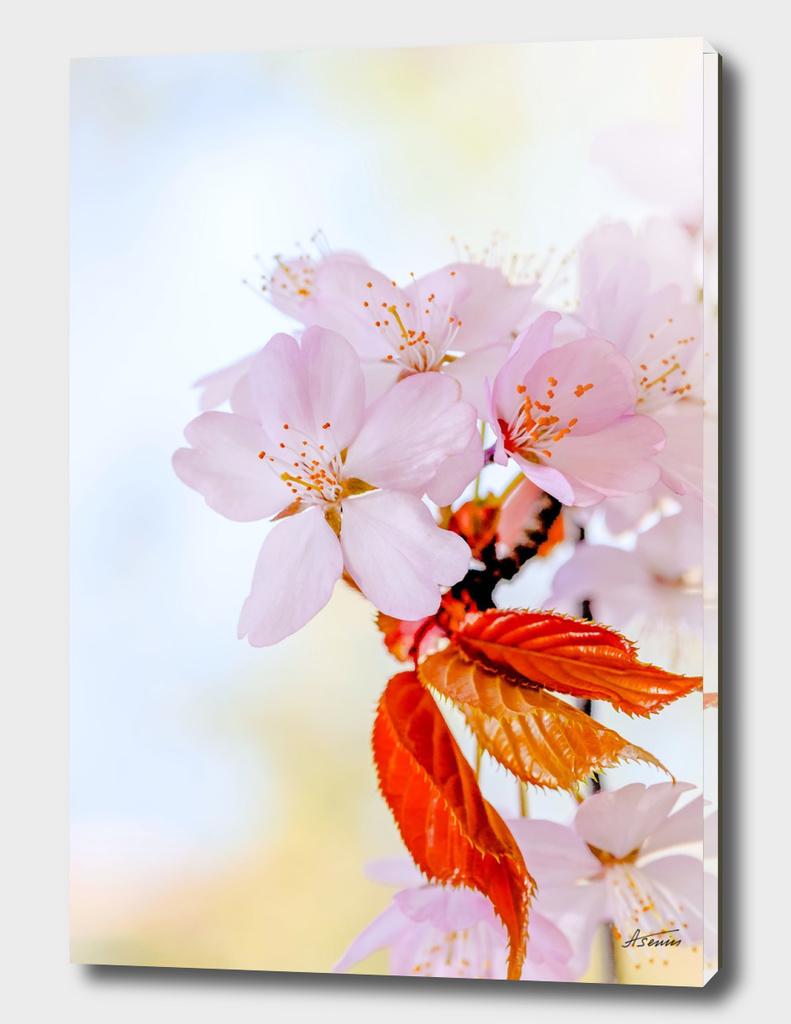 Soft Sakura Flowers